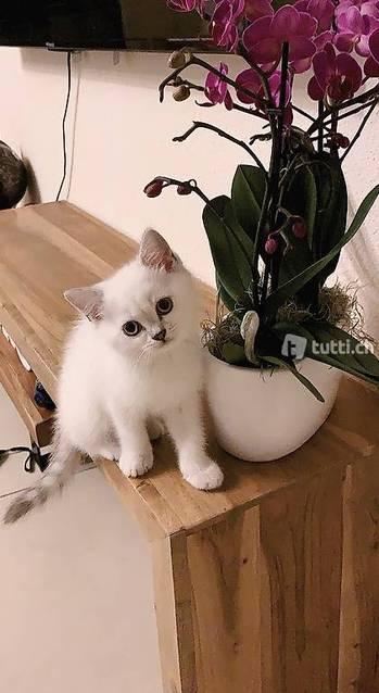 BKH Katzen Babys silver shadded und Tigerli