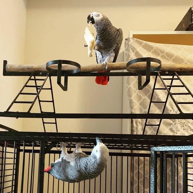 Graupapageien babys und macaw papageien