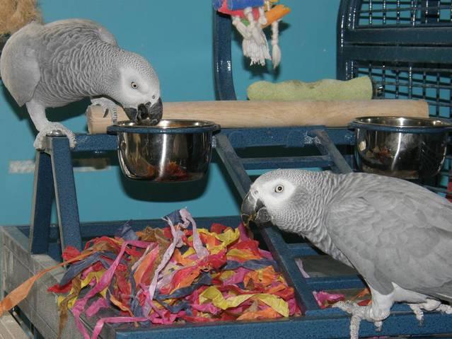 Graupapageien papagei