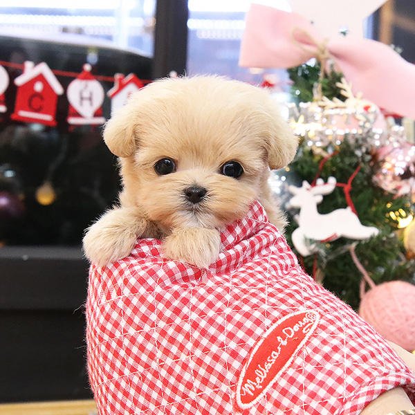 Mini Hundin maltipoo Welpen!