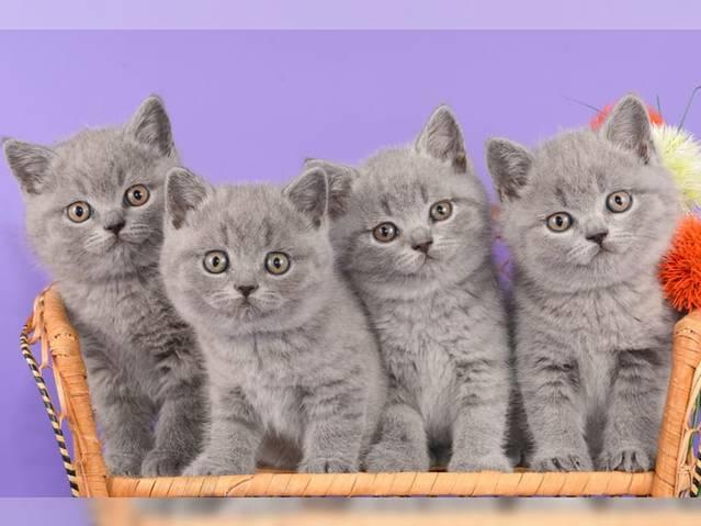 Traumplätze für Traum Britisch Kurzhaar kätzchen