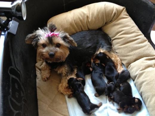 Yorkshire-Terrier Welpen