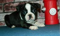 BOSTON TERRIER Welpen- vrouwtje with FCI pedigree