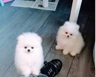 Pommeren puppy's