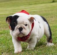 Unwiderstehliche englische Bulldoggen bereit