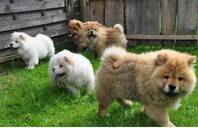 Wunderbare Chow-Chow Junge Welpen