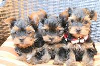Yorkshire Terrier in super mini